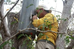 Keeper of the Wild Pablo Antoniao Millan works to protect a nest site of the Yellow Shouldered Parrot, Margarita Island Venezuela. Credit Provita.