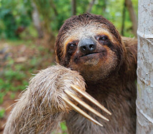 brown-throated-three-toed-sloth