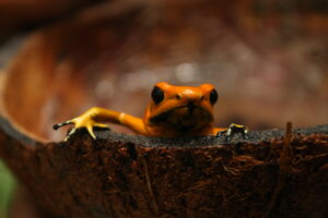 Golden Poison Frog, Rana Terribilis Reserve, Colombia. Credit ProAves.