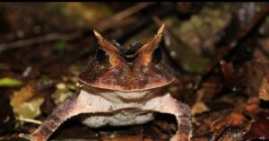 Smooth Horned Frog at REGUA, Brazil. Credit Chris Knowles.