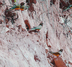 Burrowing parrots at nest sites near Melado Valley Credit: Dick Culbert from Gibsons, B.C., Canada