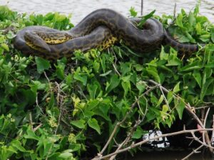 Yellow Anaconda in the Chaco-Pantanal reserve, Paraguay, Credit Emily Y. Horton