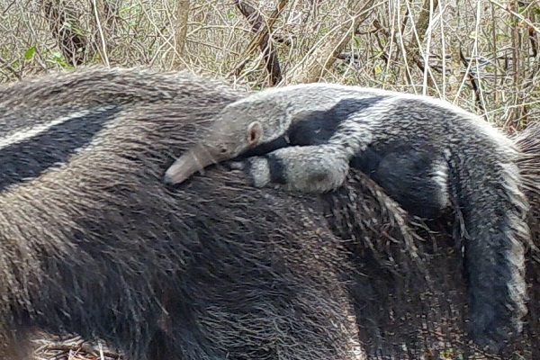 Young Anteater