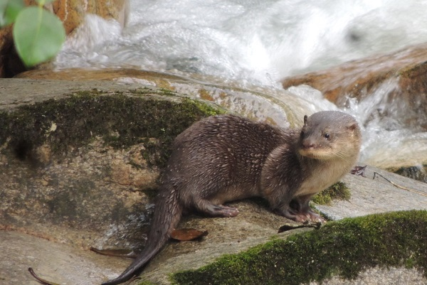 Neotropical Otter photographed in Narupa Reserve
