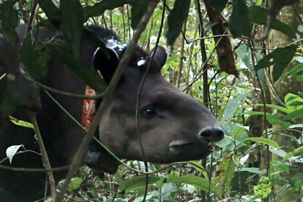 Lowland Tapir in Atlantic Forest with tracking collar