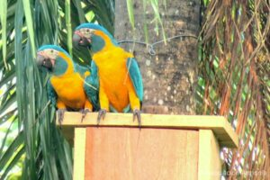 Blue-throated Macaw nestbox in what is now the Laney Rickman Reserve, Bolivia © Asociacion Armonia