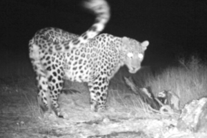 Caucasian Leopard photographed by trail camera © FPWC/VivaCell-MTS