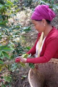 Lady from the A-chik community harvesting coffee.