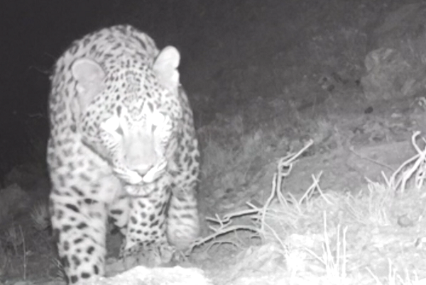 Caucasian Leopard recorded by trail camera © FPWC/VivaCell MTS