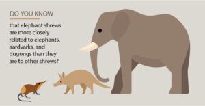 Elephant Shrews are closely related to Elephants and Aardvarks