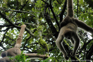 Southern Muriqui, photographed by Rildo