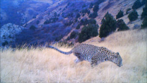One of the first images captured on trail camera showed a Caucasian Leopard with a back leg missing. There was concern for its welfare but time has shown that it is perfectly capable of looking after itself!