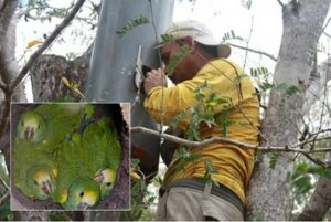 """Reserve ranger, Pablo Antonio Millan is supported through WLT's Keepers of the Wild programme; he was the first local guide to be hired by Provita to carry out Yellow-shouldered Parrot monitoring and management. Part of Pablo's job is to ensure that they can breed safely, protected from illegal collection for the pet trade. He said: """"It gives me great satisfaction when I see the fledglings coming out of their nests. I feel enormous happiness when I watch them fly free""""."""
