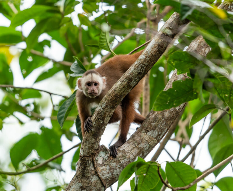 Varied White-fronted Capuchin. Credit: Fredy Gomez