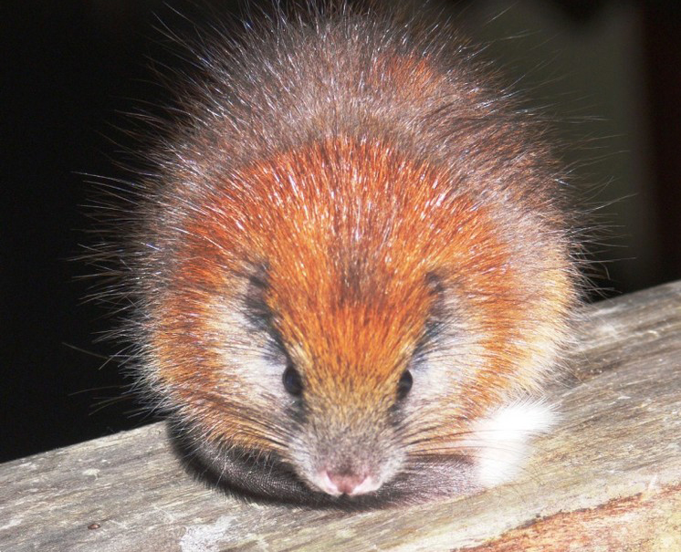 Red-crested Tree Rat. Credit: Lizzie Noble/ProAves