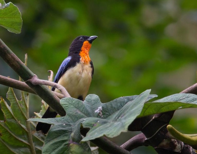 Orange-throated Tanager in the Nangaritza Valley. ©Lars Petersson