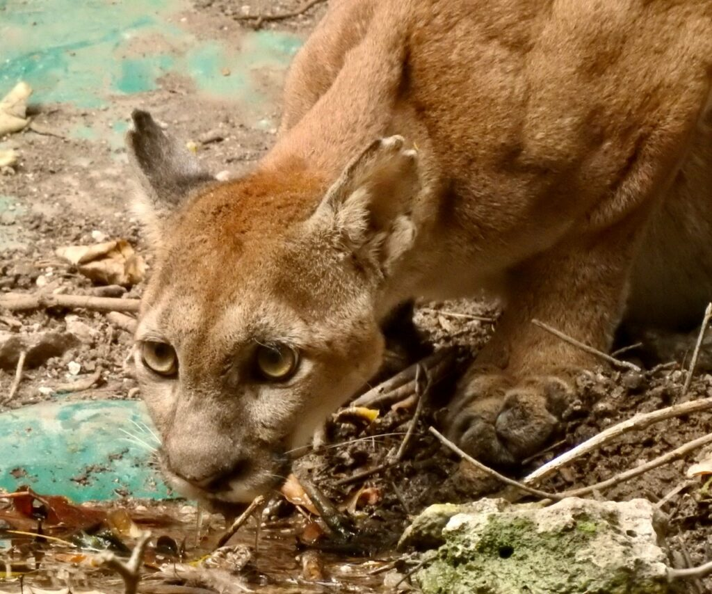 A Puma takes a drink from one of FUNDAECO's man-made watering holes. Credit: FUNDAECO.