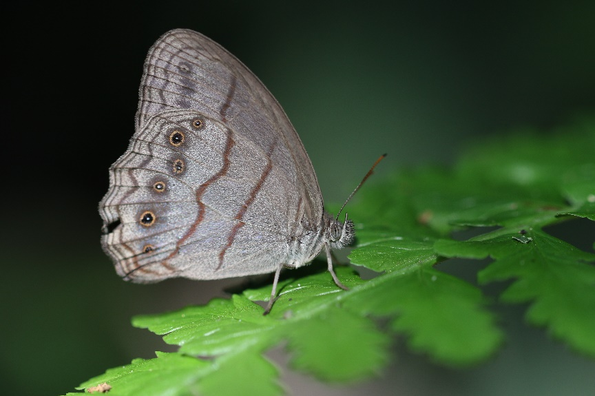 A newly discovered butterfly perched on a leaf at REGUA, Brazil. Credit:Lee Dingain.