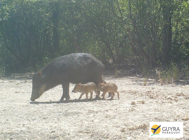 Camera-trap image of a Chacoan Peccary with young, in Paraguay