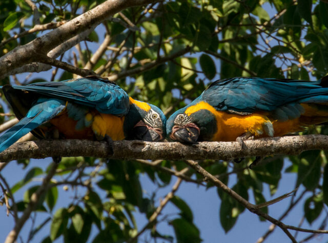 a pair of Blue-throated Macaw exhibiting mirroring behaviour.