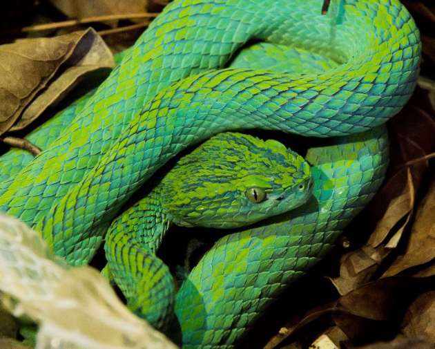 A Merendon Pit Viper curled up in leaf litter on the forest floor, Guatemala.