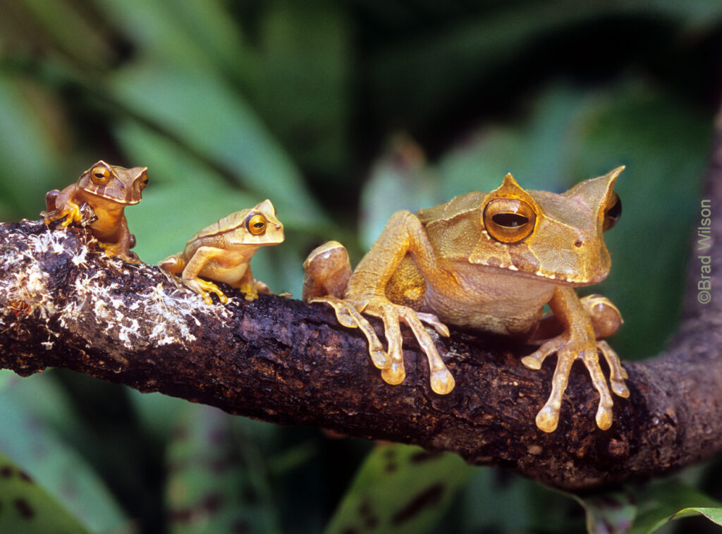 Horned Marsupial Frog with young on a branch- © Brad Wilson