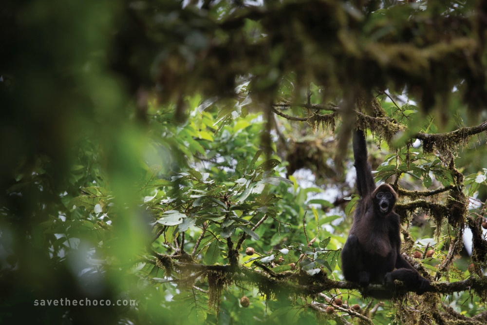 A Brown-headed Spider Monkey in the Chocó Forest