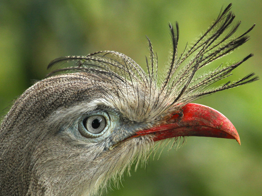 Portrait of a Red-legged Seriema in the Atlantic Forest - Scott Guiver