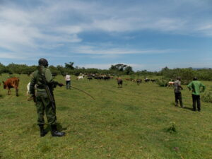 KFS Forest Guards moving away cattle that were grazing at the rehabilitated sites