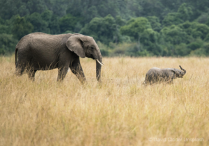 African Elephant, mother and calf